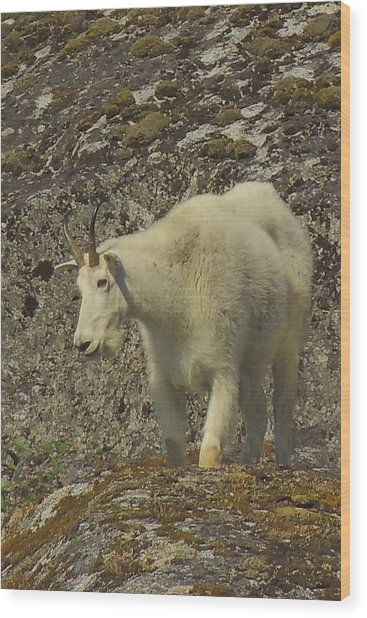 Mountain Goat Ewe Wood Print