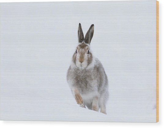 Wood Print featuring the photograph Mountain Hare - Scotland by Karen Van Der Zijden
