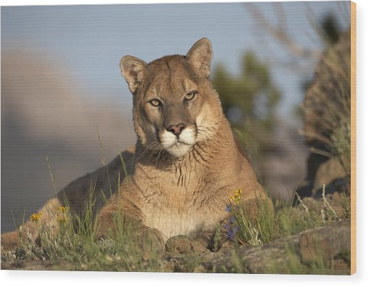 Mountain Lion Portrait North America Wood Print
