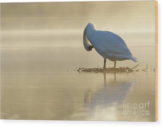 Mute Swan At Sunrise Wood Print
