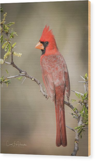 Northern Cardinal Cfh17765 Wood Print