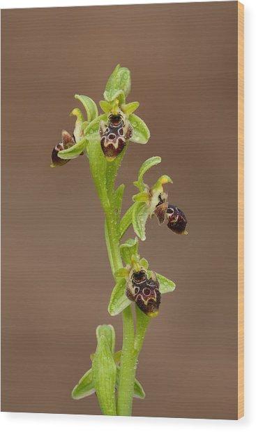 Ophrys Carmeli Wood Print by Yuri Peress