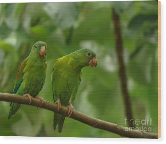 Orange -chinned Parakeets  Wood Print