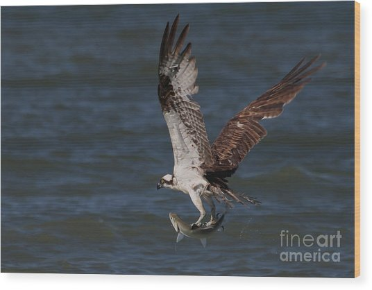 Osprey In Flight Wood Print