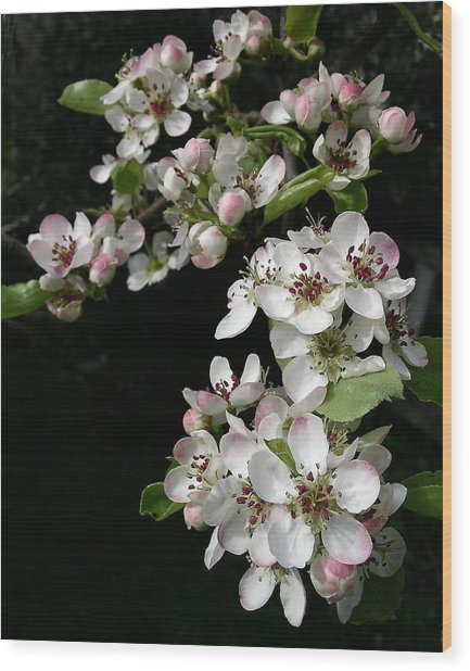 Pear Blossoms Wood Print by Wilbur Young