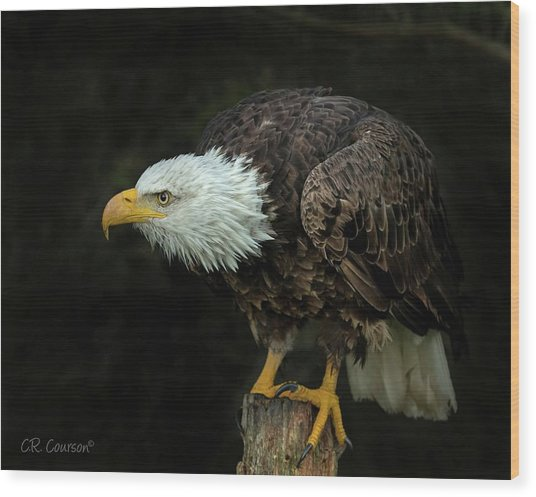 Perched Bald Eagle Wood Print