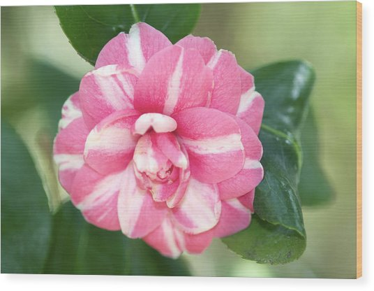 Pink Camelia Wood Print by Gerry Walden
