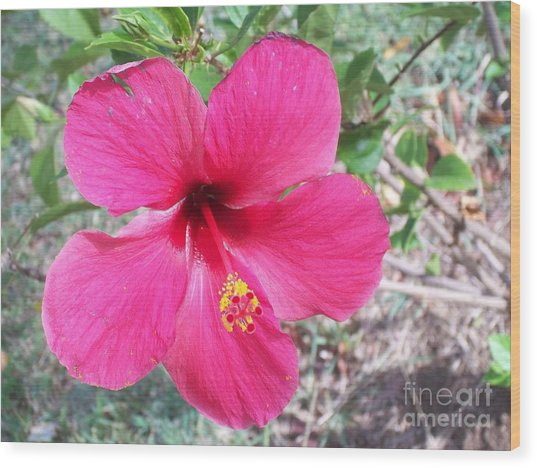 Pink Hibiscus Beauty Wood Print