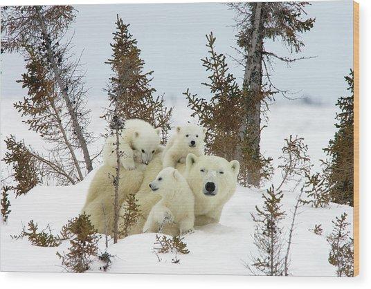 Polar Bear Ursus Maritimus Trio Wood Print