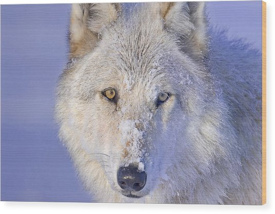Portrait Of The White Wolf 540f Wood Print