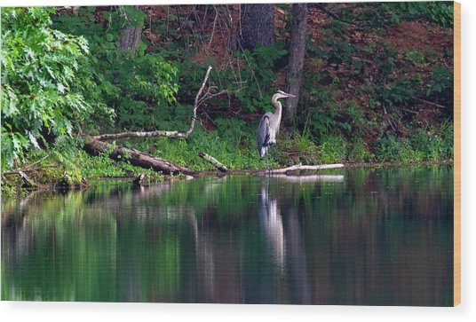 Posing Great Blue Heron  Wood Print