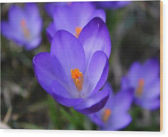 Purple Crocuses - 2015 Wood Print