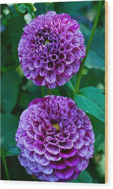 Purple Passion Dahlia  Wood Print