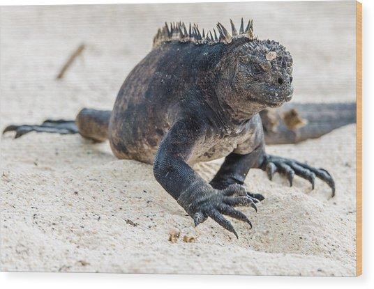 Rabida Marine Iguana Wood Print by Harry Strharsky