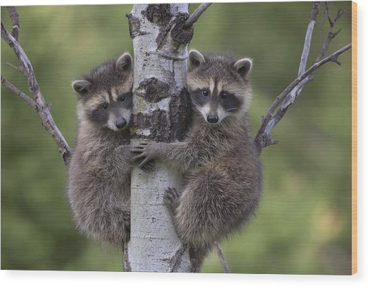 Raccoon Two Babies Climbing Tree North Wood Print