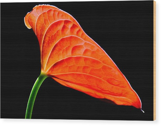 red Lily blossom Wood Print