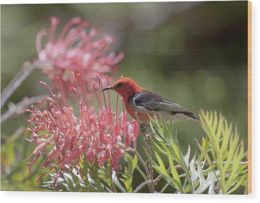 Scarlet Honeyeater Wood Print