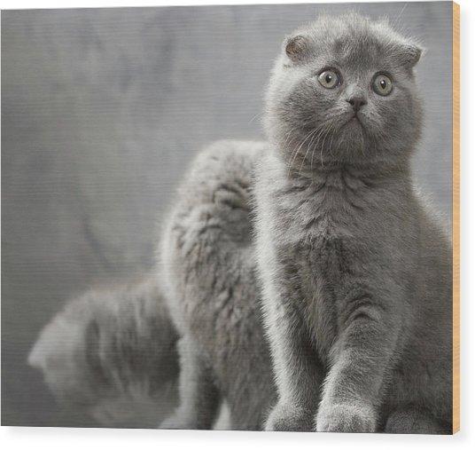 Scottish Fold Cats Wood Print