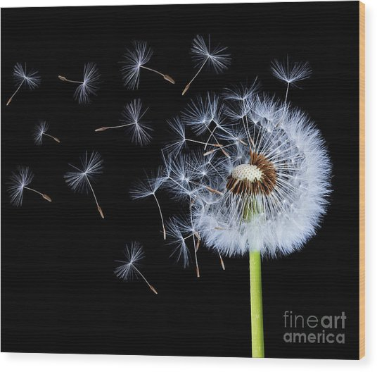 Silhouettes Of Dandelions Wood Print