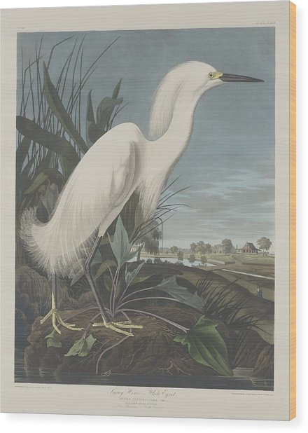 Snowy Heron Or White Egret Wood Print