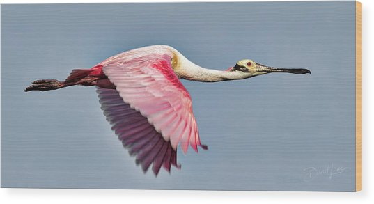 Wood Print featuring the photograph Speedy Spoonbill by David A Lane