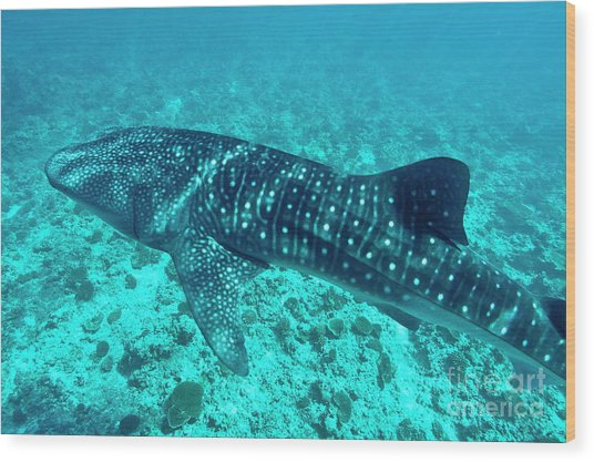 Spotted Whale Shark Wood Print by Sami Sarkis
