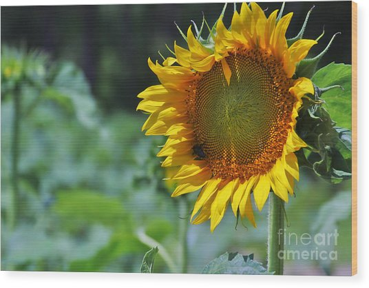 Sunflower Series Wood Print by Wendy Mogul