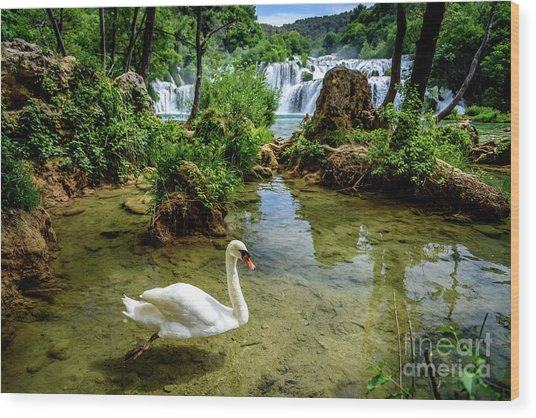 Swan In The Waterfalls Of Skradinski Buk At Krka National Park In Croatia Wood Print