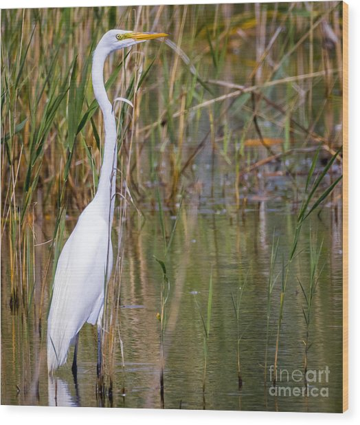 The Great White Egret Wood Print by Ricky L Jones