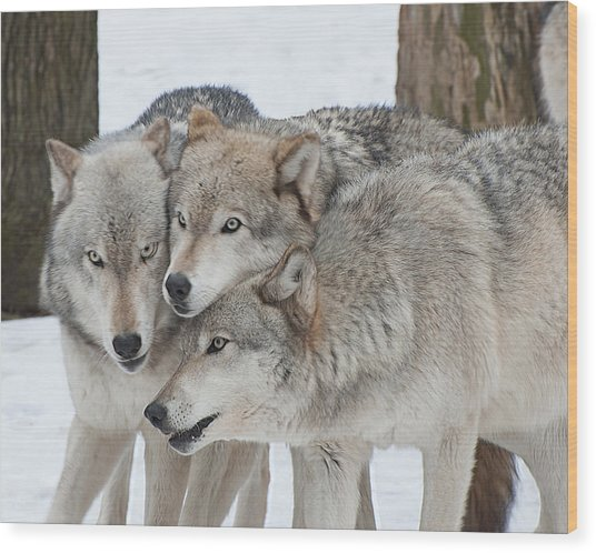 Three Wolves Are A Crowd Wood Print