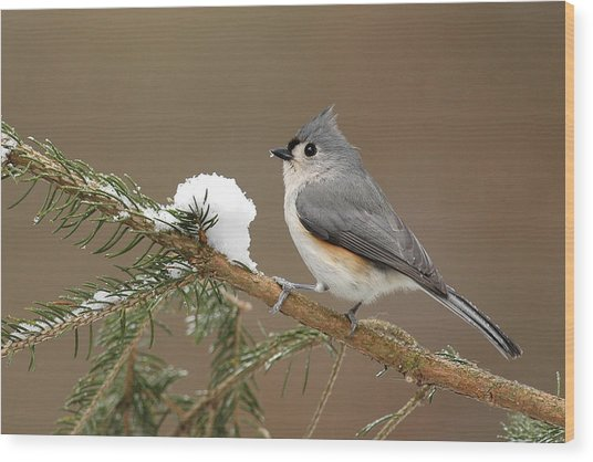 Tufted Titmouse Wood Print by Alan Lenk