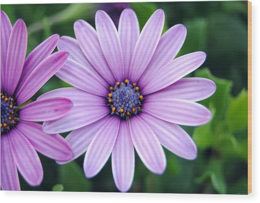 The African Daisy 3 Wood Print