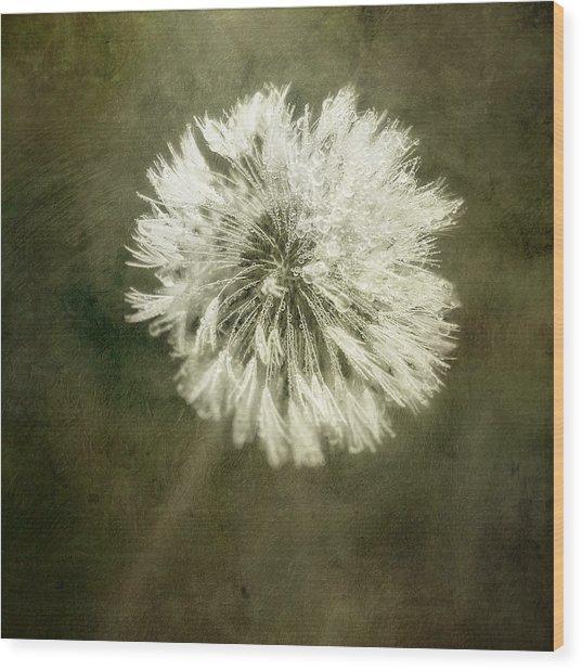 Water Drops On Dandelion Flower Wood Print