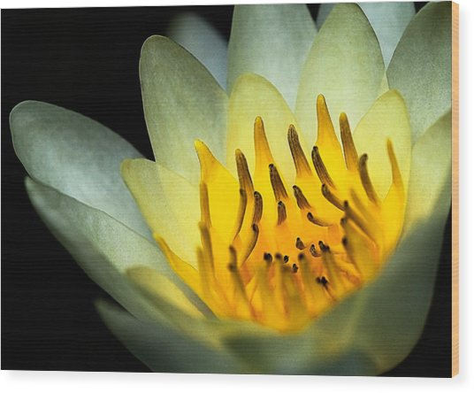 Waterlily--heart Of Fire Wood Print