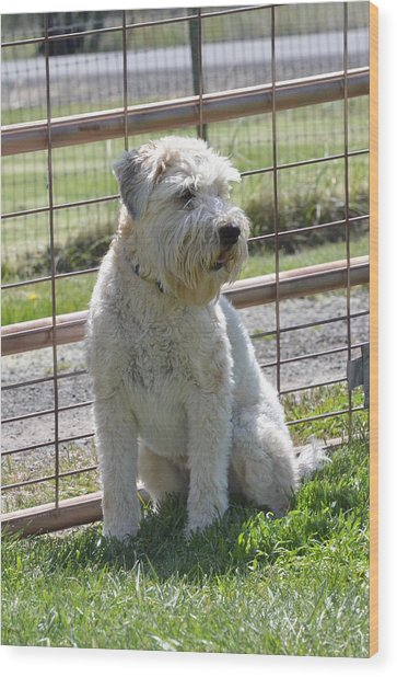 Wheaten Terrier  Wood Print