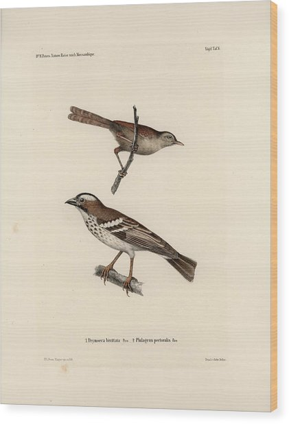 White-browed Sparrow-weaver And Grass Or Bush Warbler Wood Print