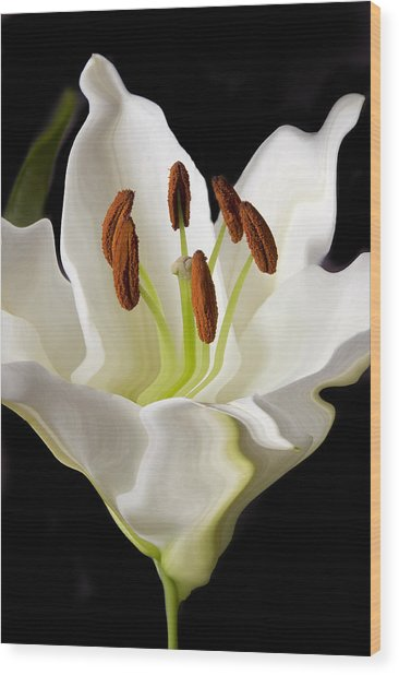 White Lily  Wood Print by Xavier Cardell