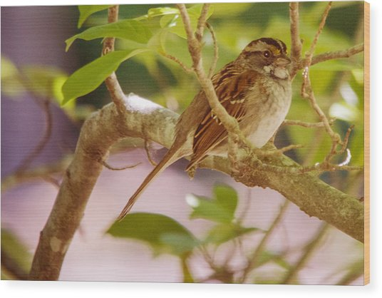 White Throated Sparrow Wood Print by Barry Jones