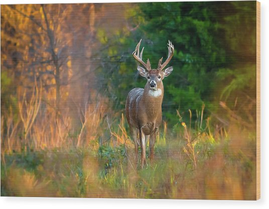 Whitetail At Sunset Wood Print