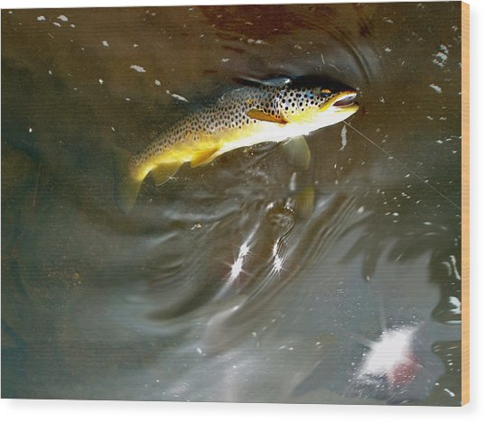 Wild Brown Trout Wood Print by Mike Shepley DA Edin