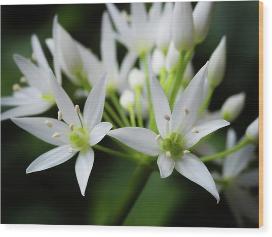 Wild Garlic Wood Print