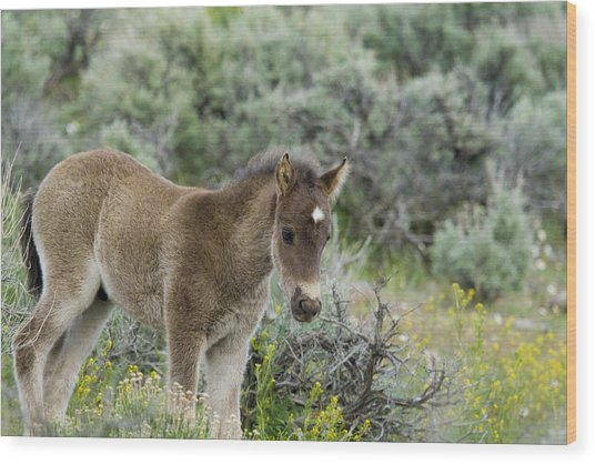Wild Mustang Foal Wood Print
