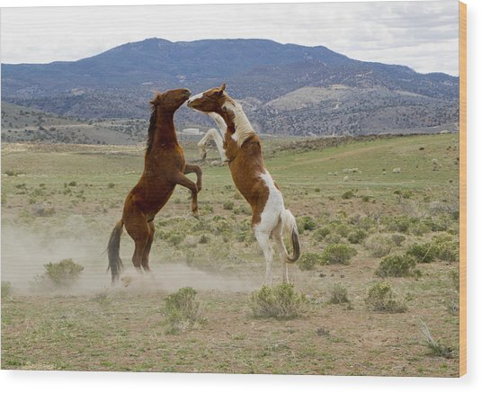 Wild Mustang Stallions Sparring Wood Print