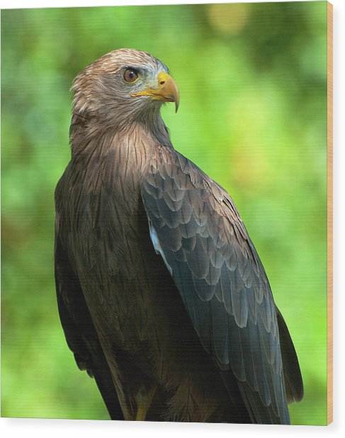 Yellow-billed Kite Wood Print