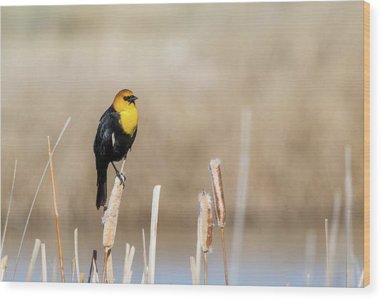 Yellow Headed Blackbird Wood Print
