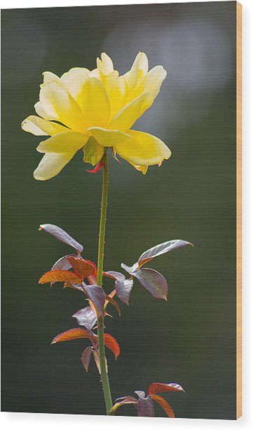 Wood Print featuring the photograph Yellow Rose by Willard Killough III