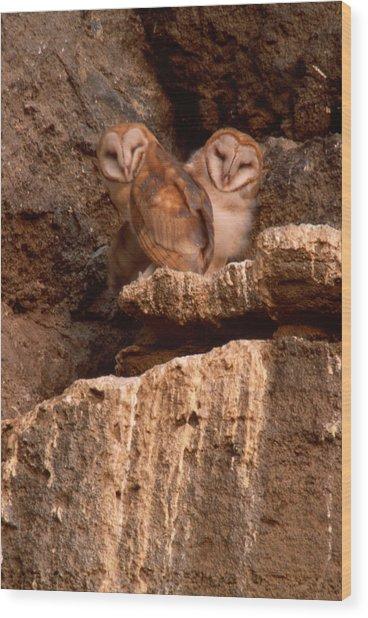 Young Barn Owls Wood Print