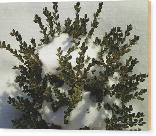 Young Boxwood In Winter Wood Print