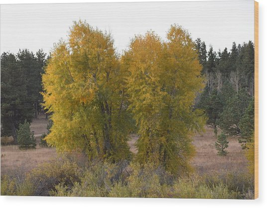 Aspen Trees In The Fall Co Wood Print