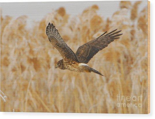 Harrier Hawk Wood Print by Dennis Hammer